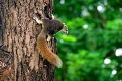 Squirrel climb on the tree Royalty Free Stock Photography
