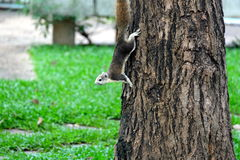 Squirrel climb on the tree Royalty Free Stock Image