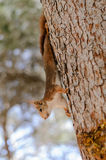 Squirrel climb the tree III Stock Photography