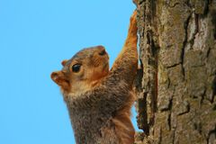 Squirrel Climbing Stock Image
