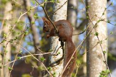 Squirrel climbing Royalty Free Stock Photo