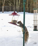 Squirrel Climbing Bird Feed Stock Photography