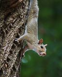 Squirrel climbing down Stock Photography