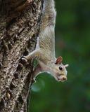 Squirrel climbing down. Closeup of an adorable squirrel climbing down a tree as it forages for food Stock Photography