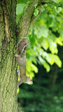 Squirrel climbing down a tree Royalty Free Stock Images