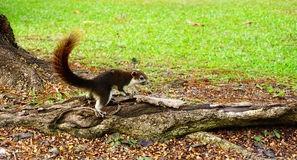 Squirrel climbing down a tree. Cute looking small furry animal Royalty Free Stock Images