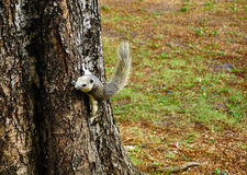 Squirrel climbing down a tree. Cute looking small furry animal Royalty Free Stock Photography