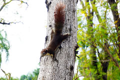 Squirrel climbing down a tree. Cute looking small furry animal Stock Photography
