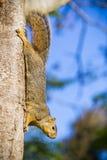 Squirrel climbing Royalty Free Stock Photos