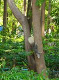 Squirrel climbing down the tree Royalty Free Stock Photos