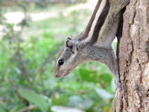 Squirrel climbing down from Tree Royalty Free Stock Photography