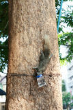 Squirrel climbing down the tree to drink water in a bottle Royalty Free Stock Photos