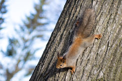 Squirrel Climbing Down a Tree Stock Images