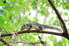 Squirrel Climbing On Green Branch Royalty Free Stock Image