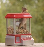 Squirrel climbing out an Gumball Machine. Red squirrel climbing out a Gumball Machine with a peanut royalty free stock images
