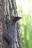 Squirrel climbing the tree Royalty Free Stock Photos
