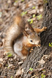 Squirrel climbing tree Stock Images