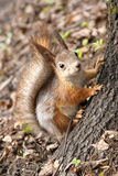 Squirrel climbing tree Stock Photo