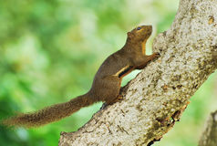 Squirrel Climbing A Tree Stock Photography