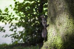 Squirrel climbing tree Stock Photos