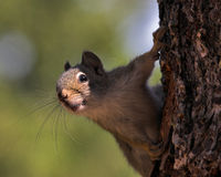 Squirrel climbing on tree. And peering at something in distance Stock Image