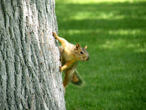 Squirrel Climbing Tree. Squirrel climbing up tree and looking around curiously Stock Photos