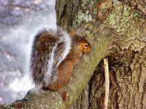 Squirrel climbing on the tree Royalty Free Stock Photo