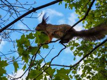 A squirrel is climbing on the tree branches stock images
