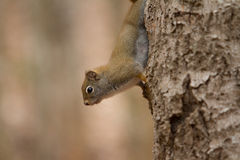 Squirrel climbing a tree Stock Image