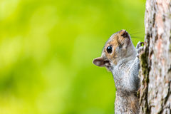 Squirrel climbing tree Stock Photography