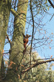 Squirrel climbing the tree Royalty Free Stock Image