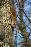Squirrel climbing on a tree Stock Images