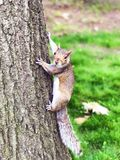 Squirrel climbing on the tree Stock Photo