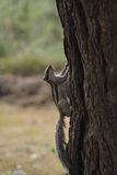 Squirrel climbing on a tree Stock Photography