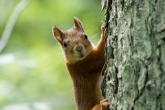 Squirrel climbing a tree. Squirrel on a tree looking to the camera Stock Images