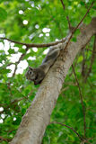 Squirrel is climbing on tree in park Royalty Free Stock Image