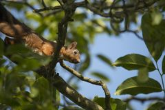 Squirrel climbing tree Stock Image