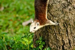 The squirrel is climbing on the tree. royalty free stock image