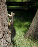 Squirrel climbing tree Royalty Free Stock Photography
