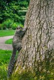 Squirrel Climbing A Tree Stock Photo