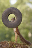 Squirrel is climbing in a tyre Royalty Free Stock Image