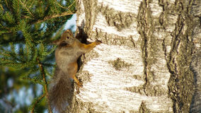 A squirrel climbing up a tree Royalty Free Stock Photography