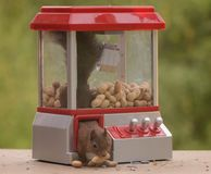 Squirrel climbs out a Gumball Machine. Red squirrel climbing out a Gumball Machine royalty free stock photography