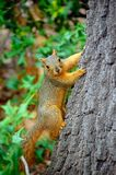Squirrel. Climbs tree stock photography