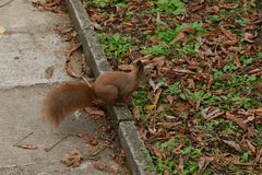 The squirrel climbs the tree and the grass. And hides the walnuts in the ground for the winter Stock Photos