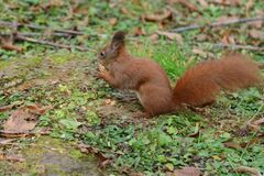 The squirrel climbs the tree and the grass. And hides the walnuts in the ground for the winter Royalty Free Stock Images