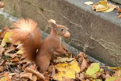 The squirrel climbs the tree and the grass. And hides the walnuts in the ground for the winter Royalty Free Stock Photography