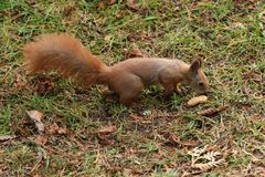 The squirrel climbs the tree and the grass. And hides the walnuts in the ground for the winter Stock Photo