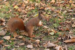 The squirrel climbs the tree and the grass. And hides the walnuts in the ground for the winter Stock Photography
