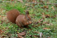 The squirrel climbs the tree and the grass. And hides the walnuts in the ground for the winter Royalty Free Stock Image